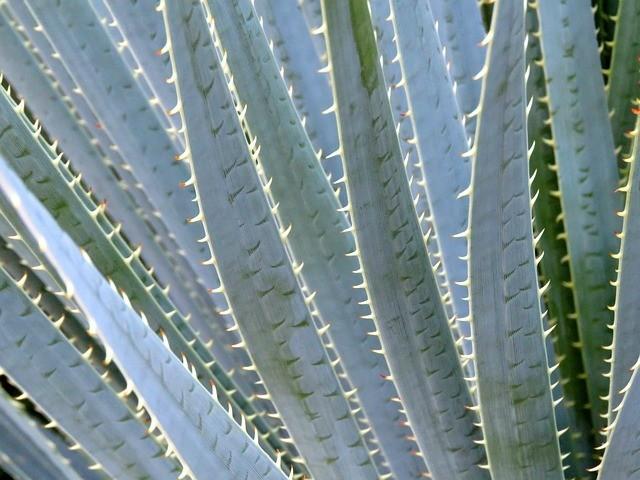 aloe vera - Aloe vera