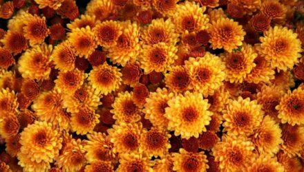 chrysanthemu t 440x250 - sazenicka.cz