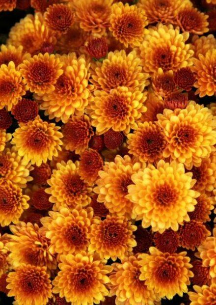chrysanthemu t