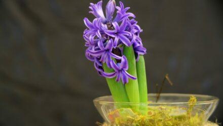 hyacint t