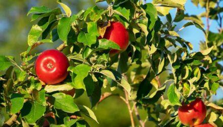 jablka t