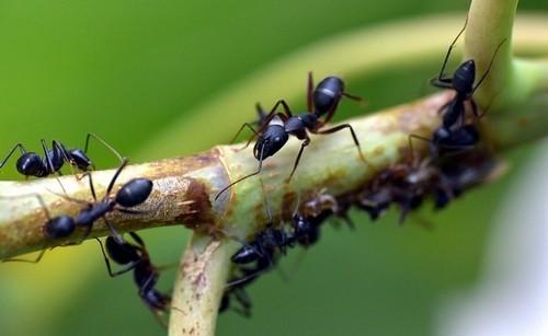 láčkovice - Masožravka láčkovice australská vás zbaví mravenců