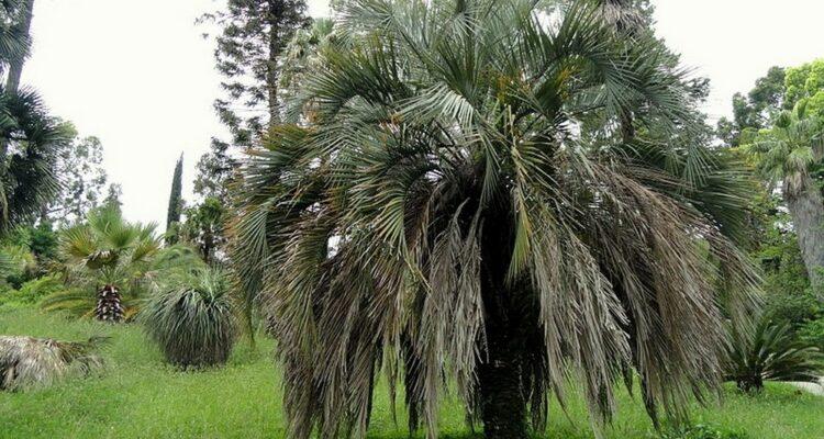 palmy butia t