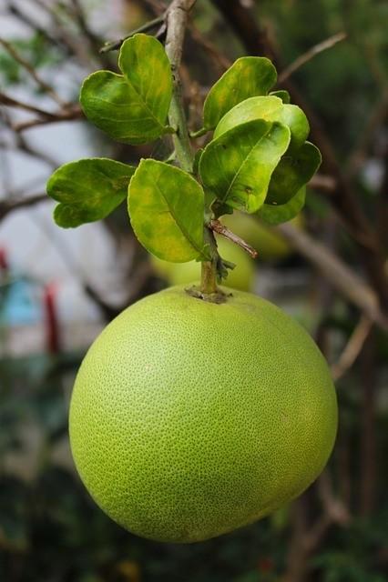 pomelo - Pomelo – citrusový král. Pěstování, zdravotní účinky a použití v kuchyni