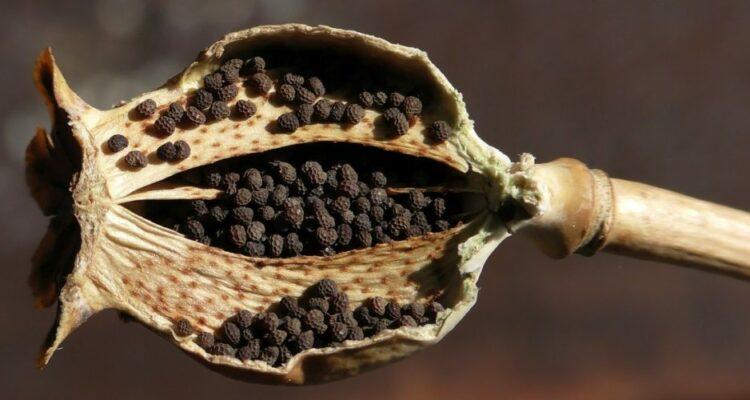 semena t