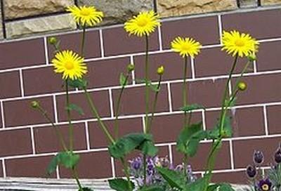 Doronicum - Kamzičník - dubnové sluníčko může kvést i na vaší zahradě