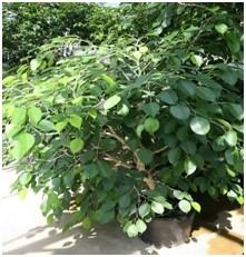 Fíkus benjamin Ficus benjamina - Fíkus má minimální nároky na péči a odstraňuje nečistoty ze vzduchu