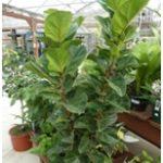 Fíkus lyrový Ficus lyrata 150x150 - Fíkus má minimální nároky na péči a odstraňuje nečistoty ze vzduchu