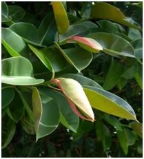 Fíkus pryžodárný Ficus elastika - Fíkus má minimální nároky na péči a odstraňuje nečistoty ze vzduchu