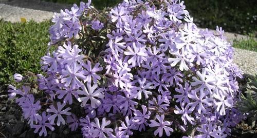 Phlox bifida wikipedia.org  - Phloxes: Příprava rostlin na zimu. Jaká je podzimní zálivka, hnojení a řez