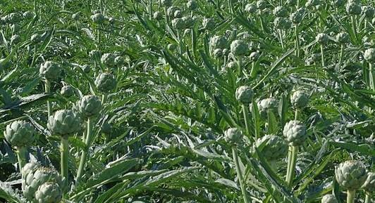 artičok wikipedia.org  - Exotická zelenina, kterou stojí za to si vypěstovat na vaší zahradě
