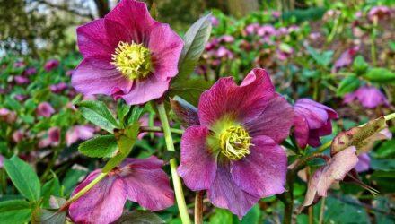 cemerice kvety