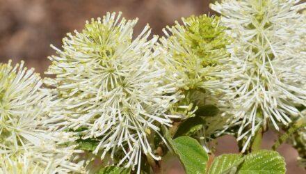 fothergilla květ