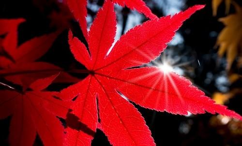 javor - Javor japonský: Orientální nádech do vaší zahrady
