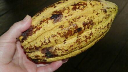 kakaovnik kakaove boby