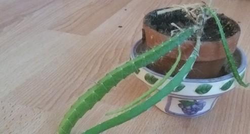 kaktus - Pitahaya – jedlé plody kaktusu a ještě něco navíc