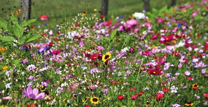 kvetinova louka 2 - Vytvořte si květinovou louku na vaší zahradě