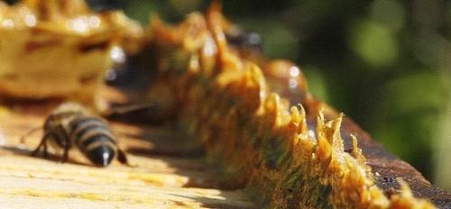 med - Včelí zázrak zvaný propolis. Jak si vyrobit vlastní tinkturu