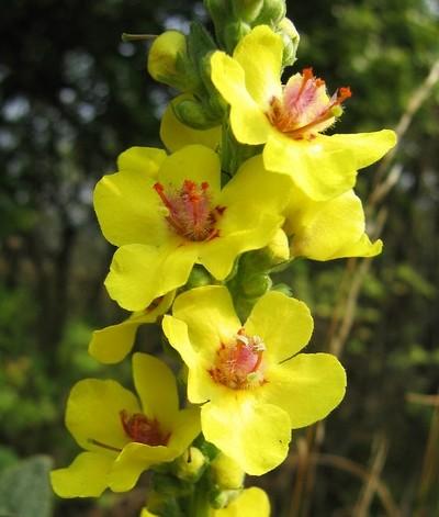 mullein růže wikipedia.org  - Co může růst vedle růží? Jaké rostliny mohou doplnit krásu růžové zahrady?