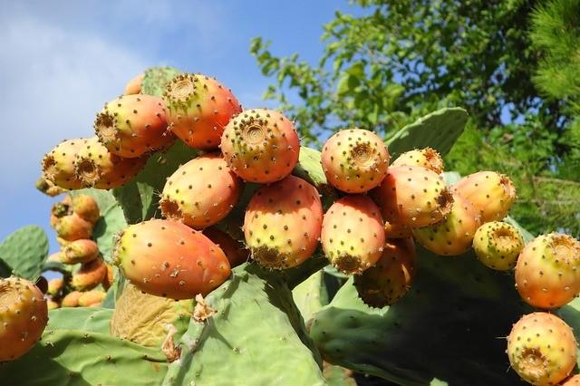 opuncie plody - Kaktus s chutnými a sladkými plody. Jak pěstovat opuncii?