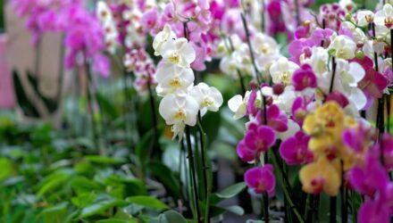 orchidej t