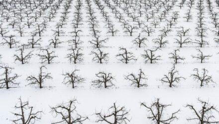 ovocné stromy t 440x250 - sazenicka.cz