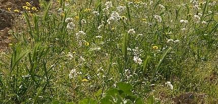 plevel - Jak používat sodu v zahradě? Pomáhá proti chorobám a škůdcům a při dozrávání plodů