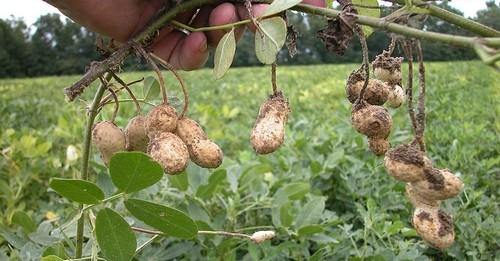 podzemnice olejná - Milujete arašídy? Vypěstujte si je sami, je to vlastně luštěnina