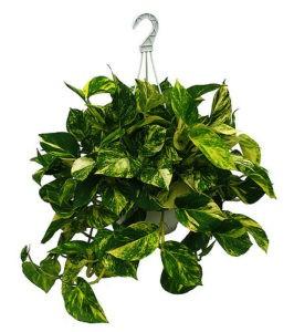 potos 2 266x300 - Potos je nenáročná rostlina, daří se mu téměř v každém bytě