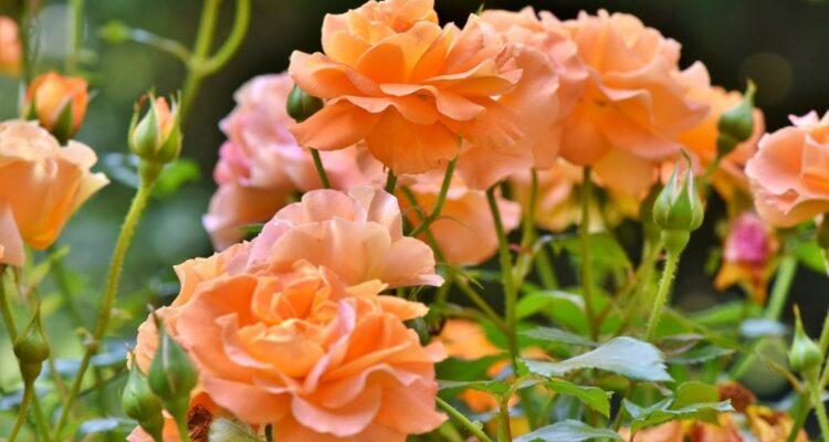 růže t