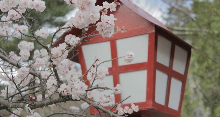 sakura strom