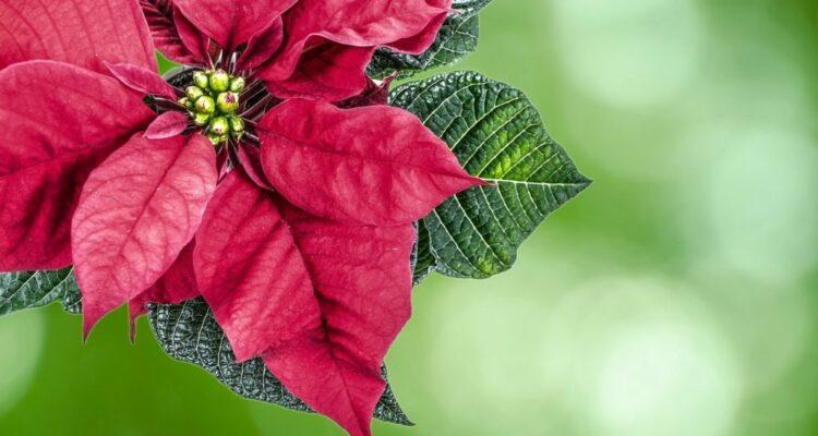 vánoční hvězda t