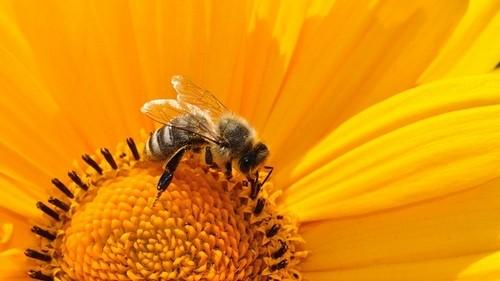 včela - Chcete-li fungující zahradu, musíte do ní nalákat určité živočichy