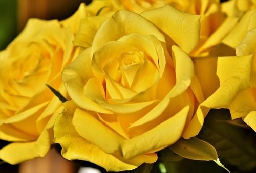 lutá růže - Jaké růže a kolik darovat k různým příležitostem