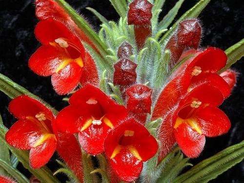 Columnea flexiflora - Chcete pokojovku, kterou jen tak někdo nemá? Kupte si Kolumneu