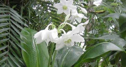 Eucharis - Znáte líbenku? S jakou rostlinou si ji můžete splést a proč?