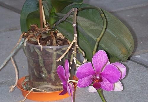 Phalaenopsis - Orchideje si mikroklima vhodné k růstu vytvoří samy, jak je v tom podpořit?