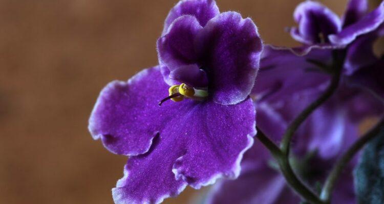 africká fialka