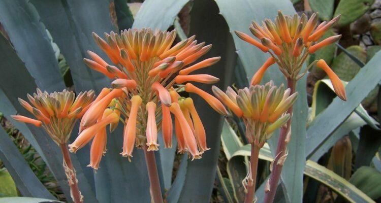 agáve květ