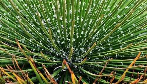 agáve - Zkuste si vypěstovat agáve. Překvapí vás zdravotní účinky této rostliny