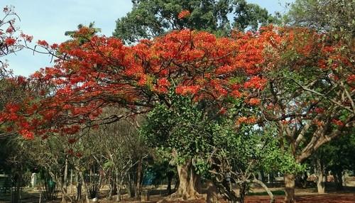 delonix královská - Delonix královská – africký skvost, který můžete pěstovat po celý rok