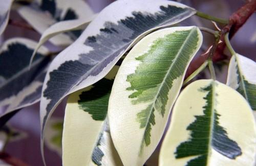 ficus - Fíkus – to nejsou jen kultivary s malými listy