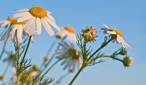 heřmánek pravý - Jak je na tom okrasná zahrada v lednu? Můžeme přirychlovat cibuloviny