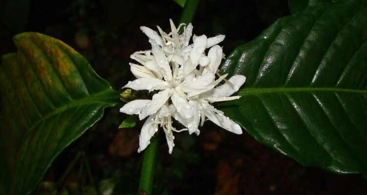 kávový květ