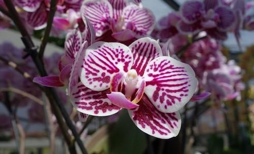 květ orchideje - Orchideje v zimě – jedno z nejkrásnějších období. Jak se o tyto živé klenoty postarat?