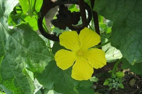květ - Vypěstujte si lufu coby perfektní masážní žínku