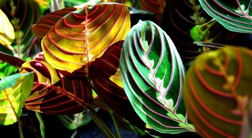 maranta rostlina - Maranta vás uchvátí ozdobným olistěním. Jedná se o nenáročnou rostlinu