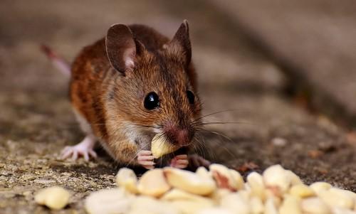 myš - Nejčastější chyby, které nalákají hlodavce na naši zahradu