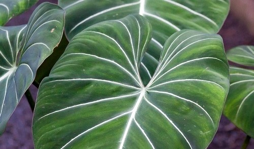 philodendron gloriosum - U filodendronu si můžete vybrat vzpřímenou, popínavou i převislou variantu