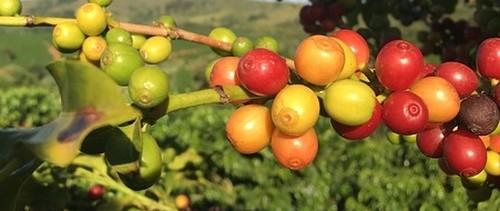 plody kávy - Kávovník můžete pěstovat jako okrasnou rostlinu i v bytě